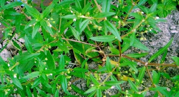 Rumput Lidah Ular