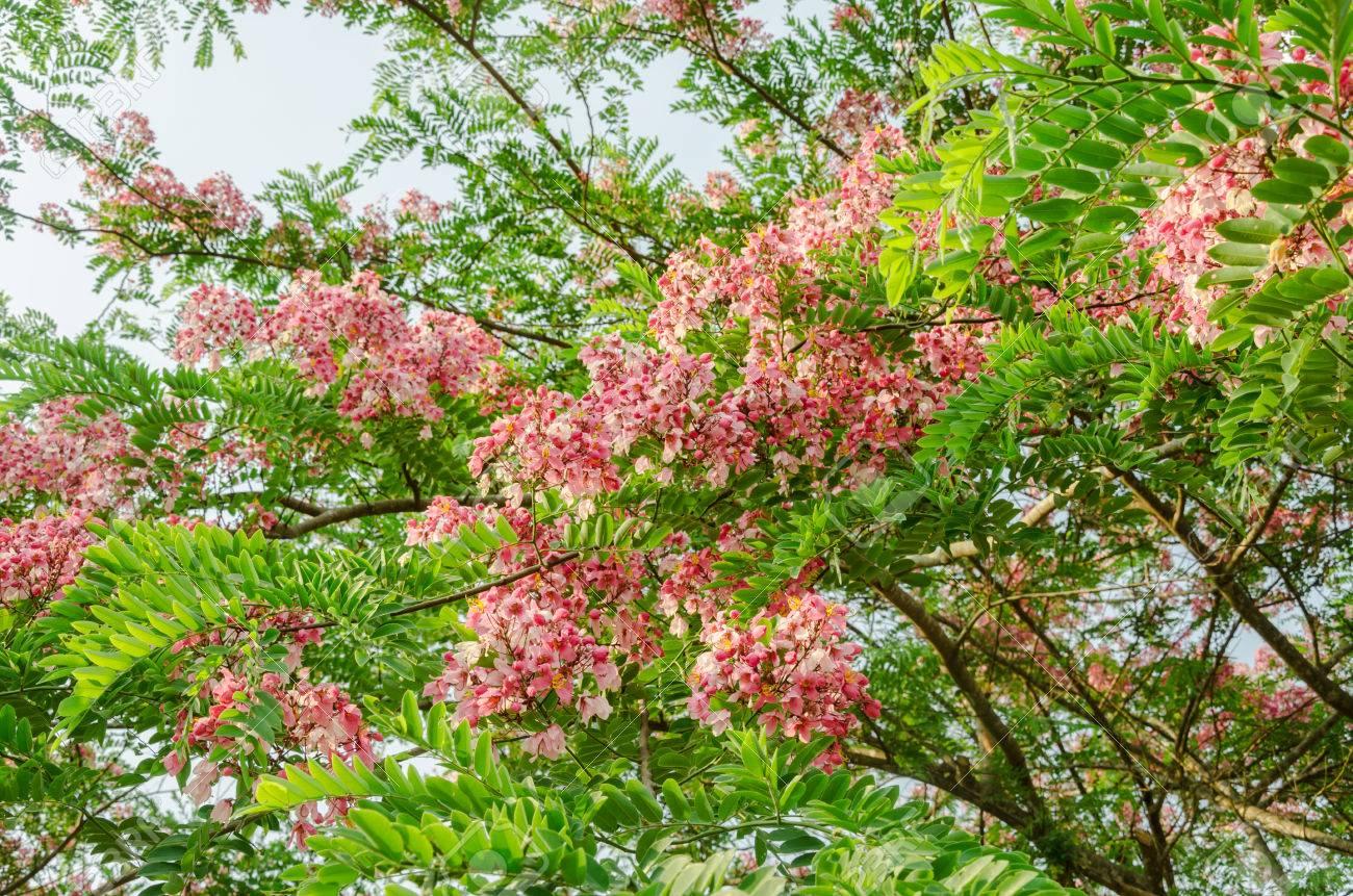 Kết quả hình ảnh cho cây muồng hoa đào