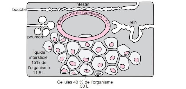 Les compartiments liquidiens d'un organisme humain