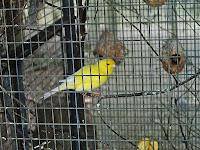Usaha Penangkaran Burung Kenari