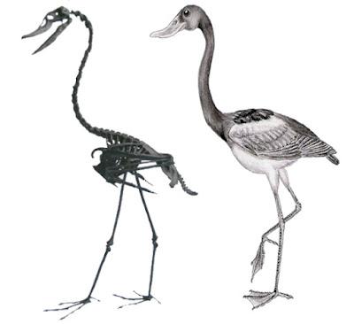 paleocene birds Presbyornis