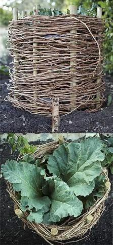 ревень с горшком, с корзиной, выращивание, черешки, длинные, нежные