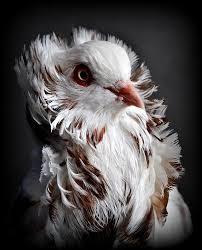 POMBO JACOBINO -  Um dos nomes pelo qual ele é conhecido se deve às penas em forma de capuz que recobre sua cabeça,  semelhante aos capuzes usados pelos monges jacobinos no século XII.  A ave também é popularmente conhecida como capuchinho, peruca e cabeleira.