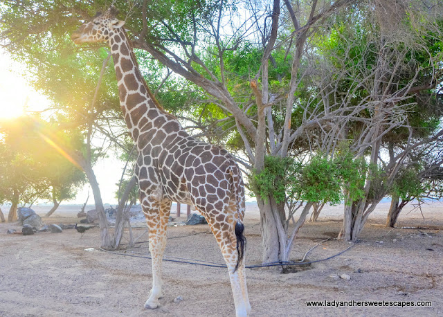 giraffe in Sir Bani Yas