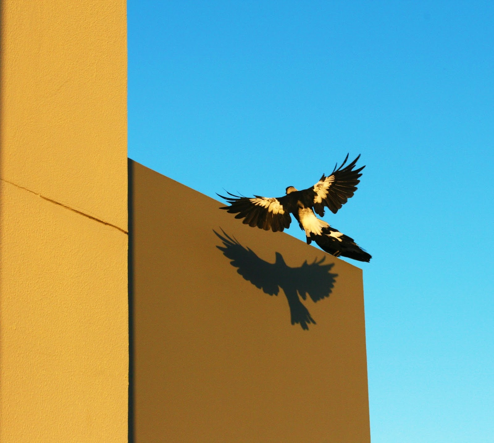 Picture of a magpie casting it's own shadow on a wall.
