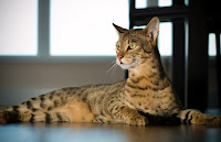 Cat Species Have Most Expensive together with Fantastic Prices 10 Cat Species Have Most Expensive together with Fantastic Prices | Cat News