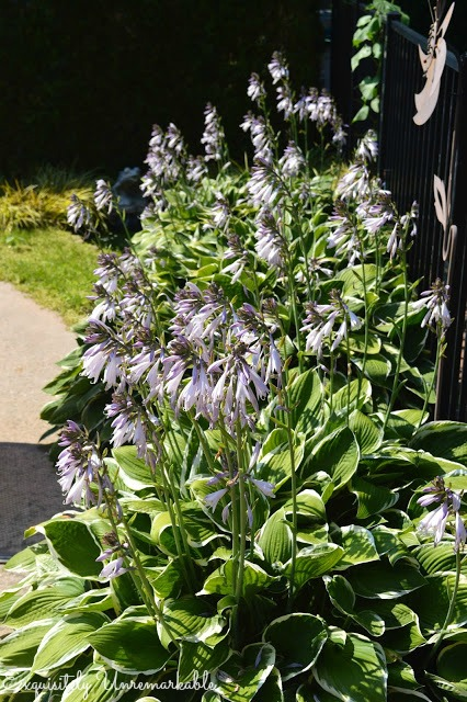 Hostas In Bloom
