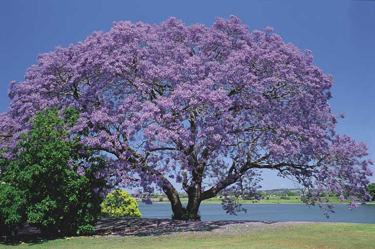 Jacarandá (Dalbergia nigra)
