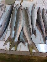 Ikan Kacangan