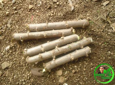 Batang singkong dipotong - potong kira - kira 15 - 20 Cm