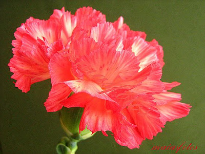 Light-red carnation-macro