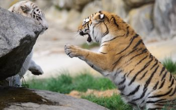 Wallpaper: Tigers at Southwicks Zoo
