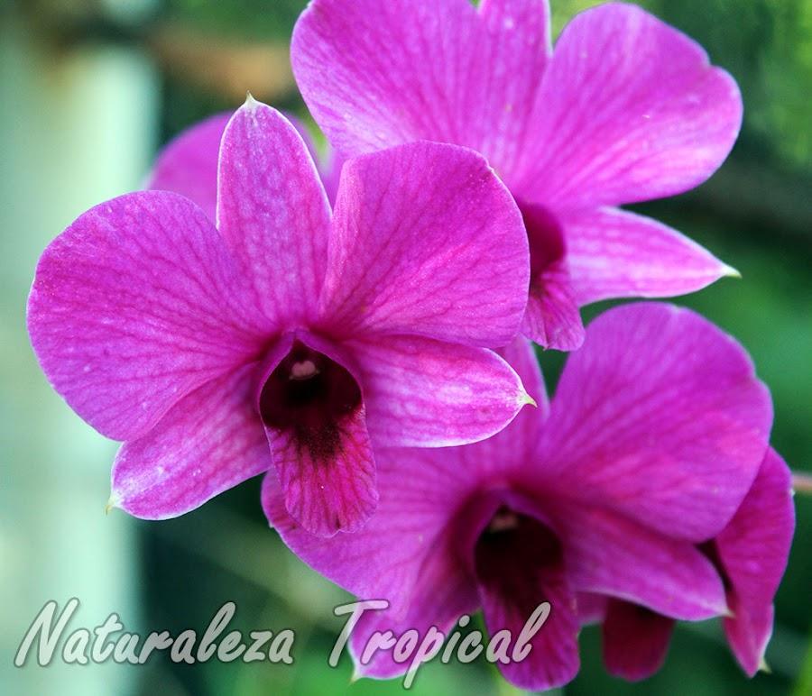 Dendrobium bigibbum, una orquídea de inigualable belleza