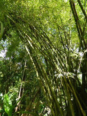 Bamboos at Diamond Botanical Gardens, Soufriere, St. Lucia