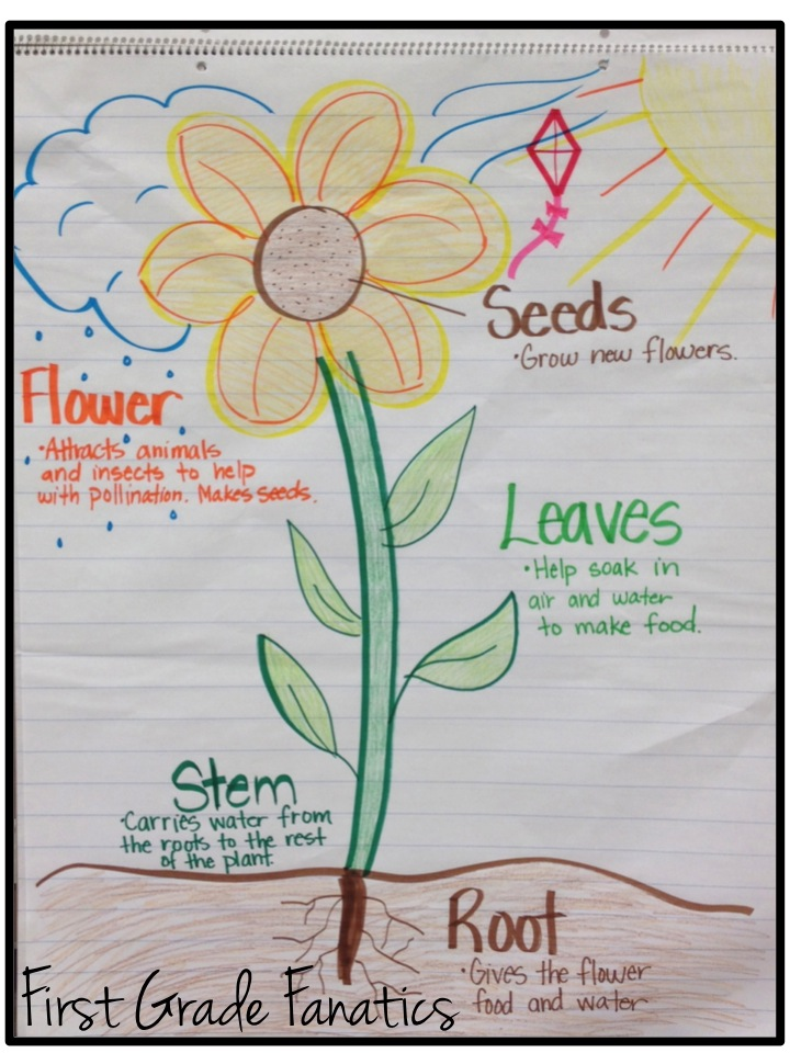 Sunflower Plant Life Cycle Diagram 2005 Honda Accord Audio Wiring First Grade Fanatics Cycles