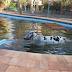 Duas vacas foram resgatadas dentro de uma piscina em chácara na cidade