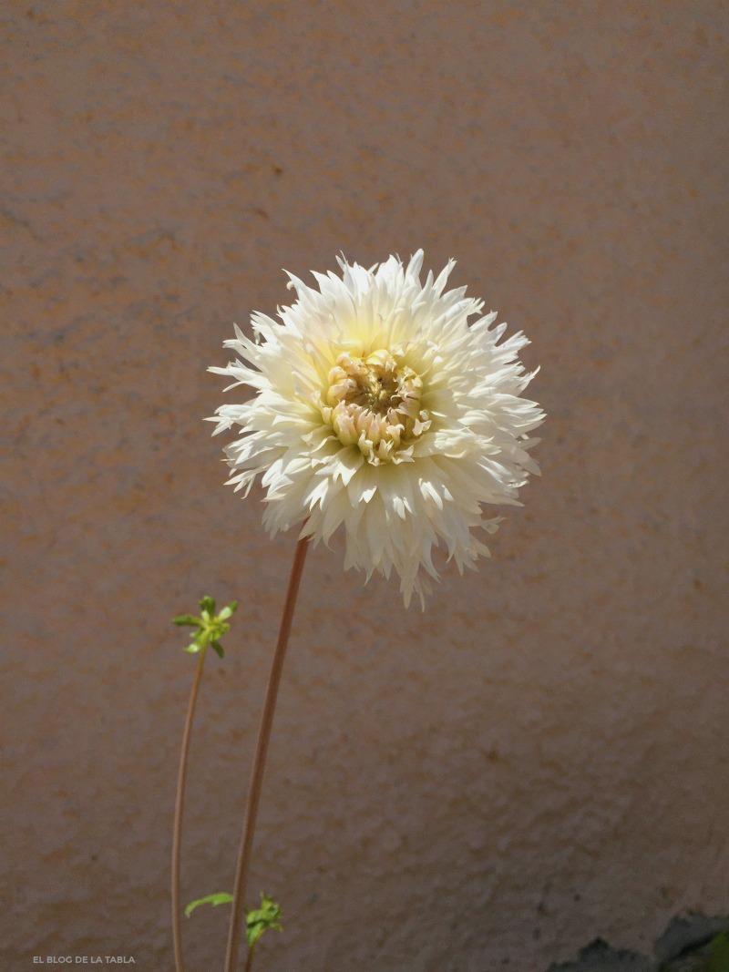 Dalia. Dahlia cactus