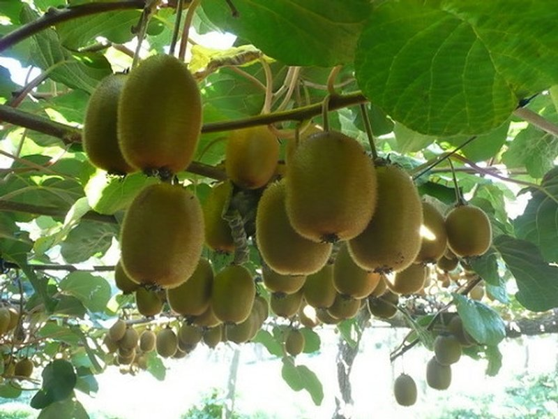 How To Grow Kiwifruit From Seed The Garden Of Eaden
