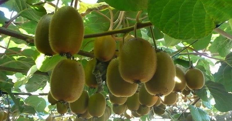 trái cây trung quốc, ăn trái cây trung quốc, trái cây nhập khẩu