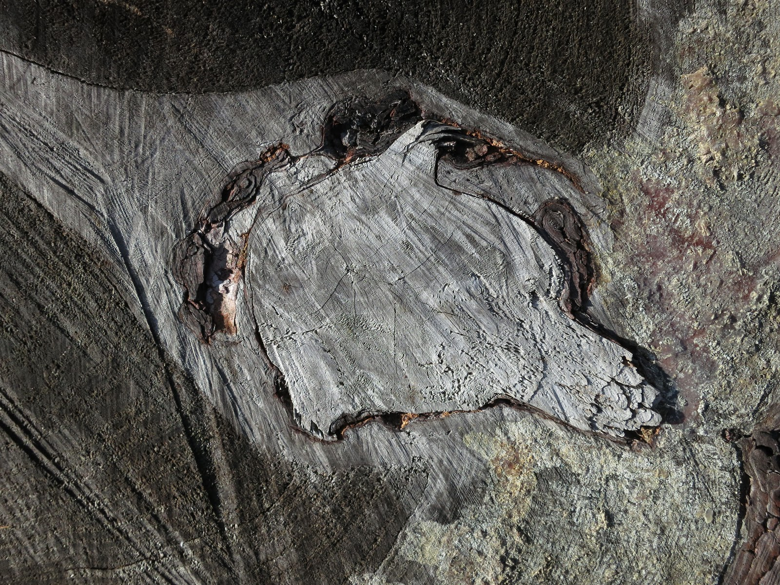 The upper surface of a tree stump showing knot, rings and saw scars