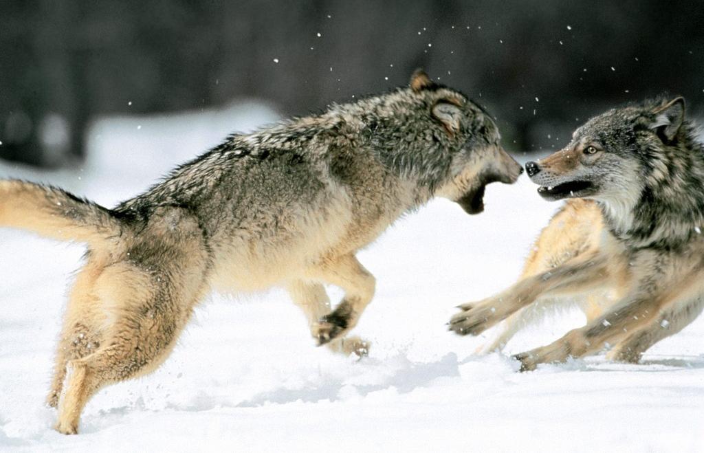 lobos peleando