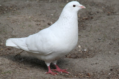 white pigeons - pigeon pictures