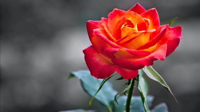 Papel de Parede Flor Vermelha e Laranja