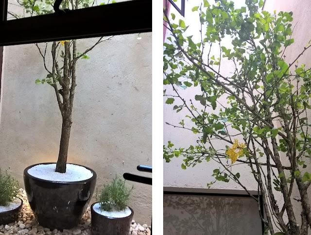 ginko biloba, jardim japonês, plantas para jardim japonês, paisagismo atelier hideko honma