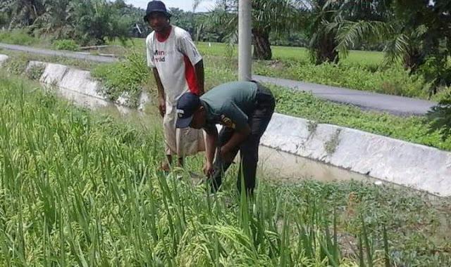 Babinsa Koramil 12/Gebang Lakukan Pengecekan Perkembangan Tanaman Padi di Desa Paluh Manis