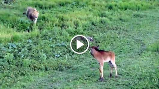 Hungry Lion Gets Close To A Young Fawn, But Seconds Later Something Truly Unbelievable Happens