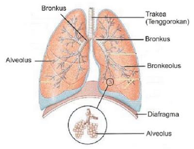 Paru - paru sebagai sistem ekskresi pada manusia - berbagaireviews.com