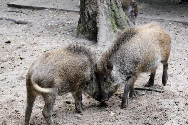 Wildschweine Tierpark Kunsterspring
