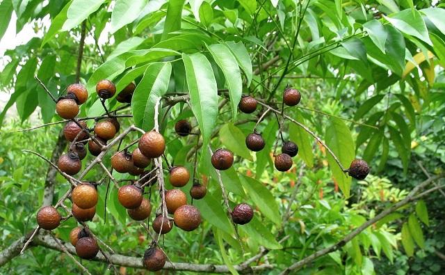 Fruotos de Jaboncillo Sapindus saponaria