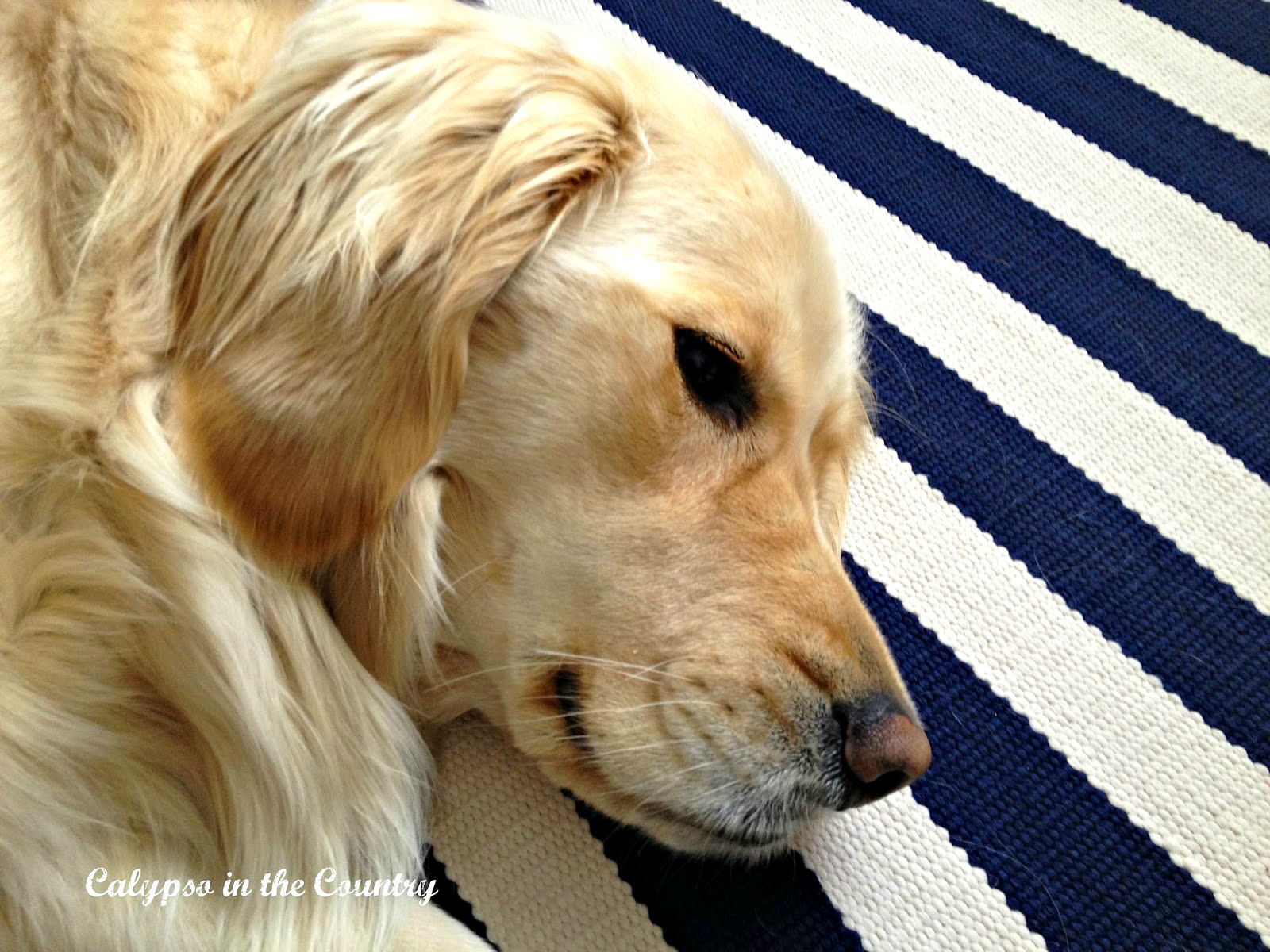 Golden Retriever on blue and white striped rug