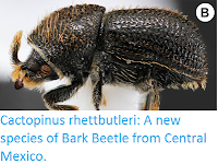 http://sciencythoughts.blogspot.co.uk/2016/11/new-species-of-bark-beetle-from-central.html