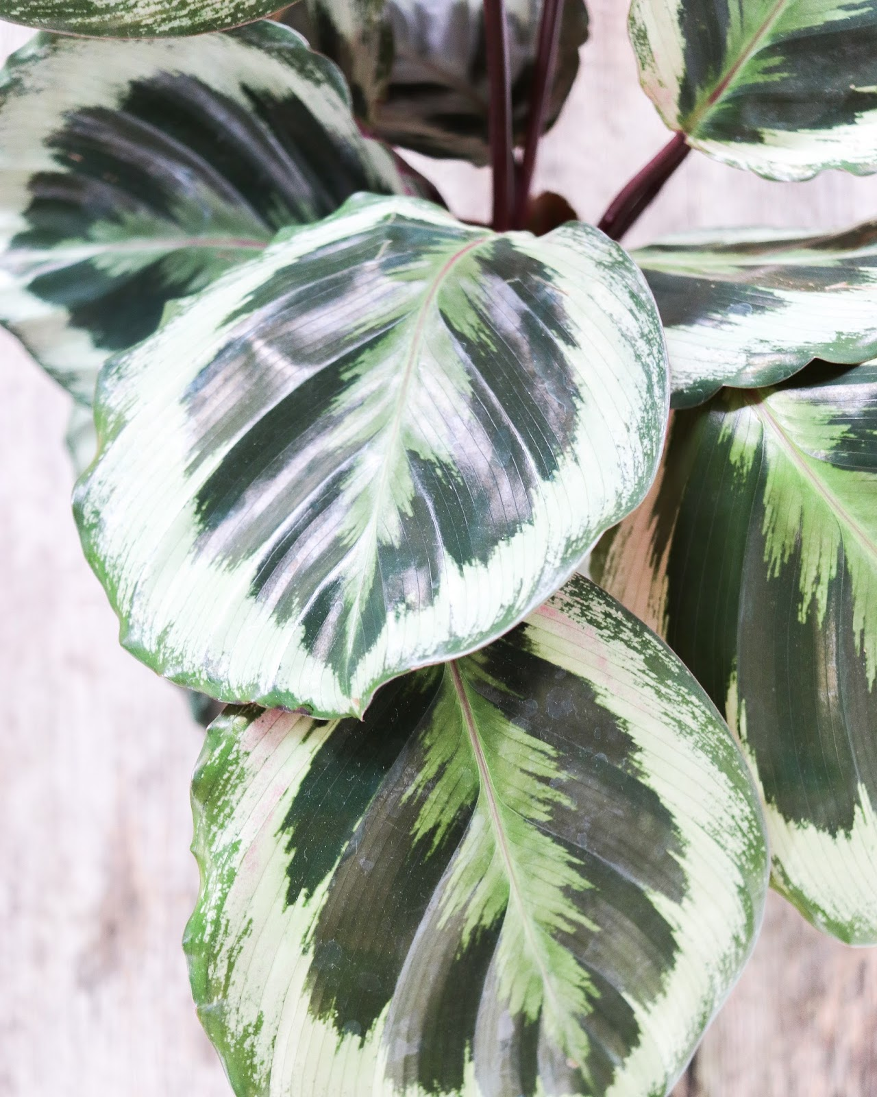 Plant of the month: Calathea