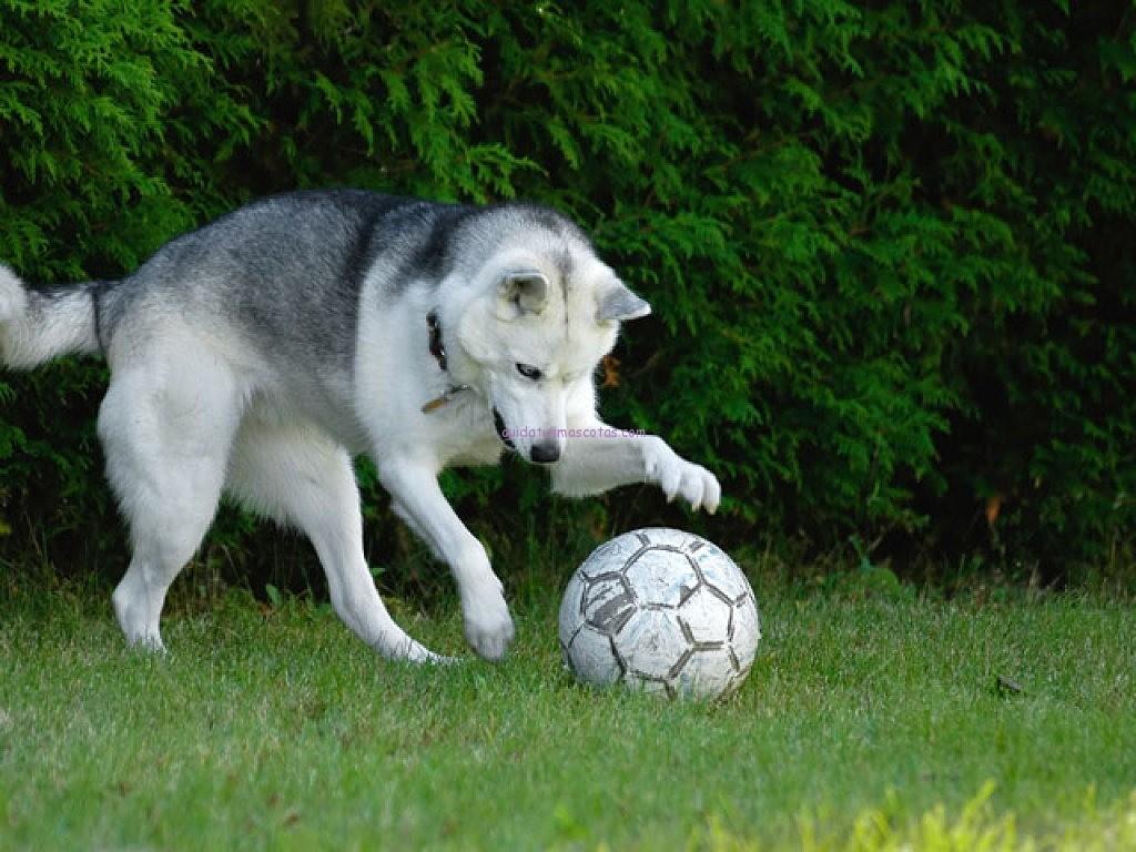Perros Husky Siberiano Fondos De Pantalla Hd De Animales 2: MANO INQUIETA Blog: Messi Es Un Perro