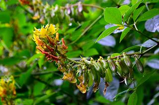 Leguminous Plant in Puriscal