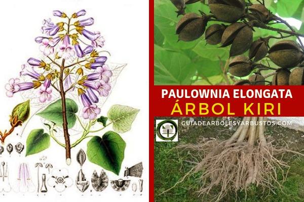 Paulownia elongata, Paulownia tomentosa, árbol de la Emperatriz en guía de arboles y arbustos