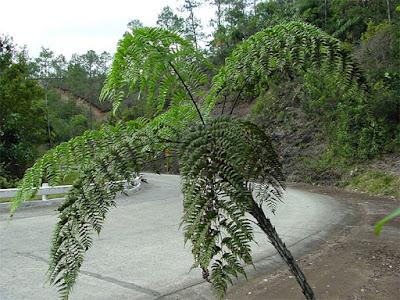 Los helechos arborescentes abundantes en varios sitios montañosos de Baracoa