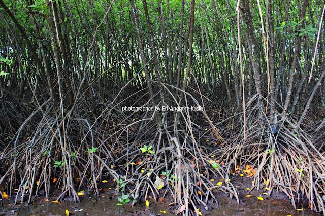 Pohon Bakau dengan akar tunjang yang khas di Hutan Wisata Payau Cilacap.