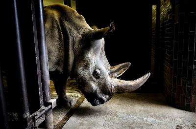 https://bio-orbis.blogspot.com.br/2014/04/os-ultimos-dos-rinocerontes-brancos-do.html