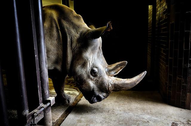https://bio-orbis.blogspot.com/2014/04/os-ultimos-dos-rinocerontes-brancos-do.html