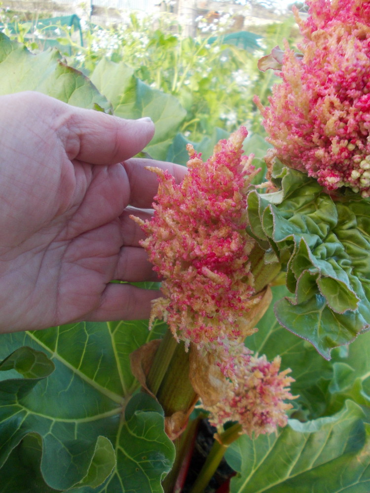 Rhubarb Flowers What To Do When Rhubarb Goes To Seed: Garden-larder