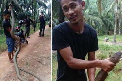 Aksi Mendebarkan, Pria Tangkap King Kobra dengan Tongkat