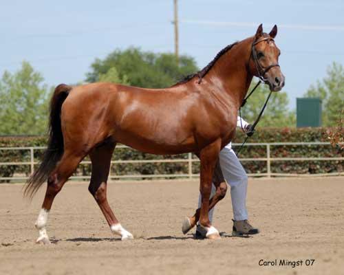 Exemple d'un dos long chez le cheval.