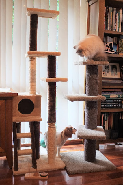 puppy looks up at cat on top of cat tree