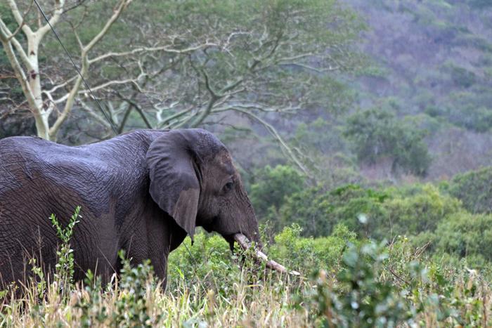 Elefantenbulle in Phinda, Südafrika
