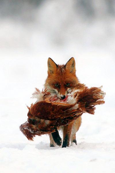 renard mange poule