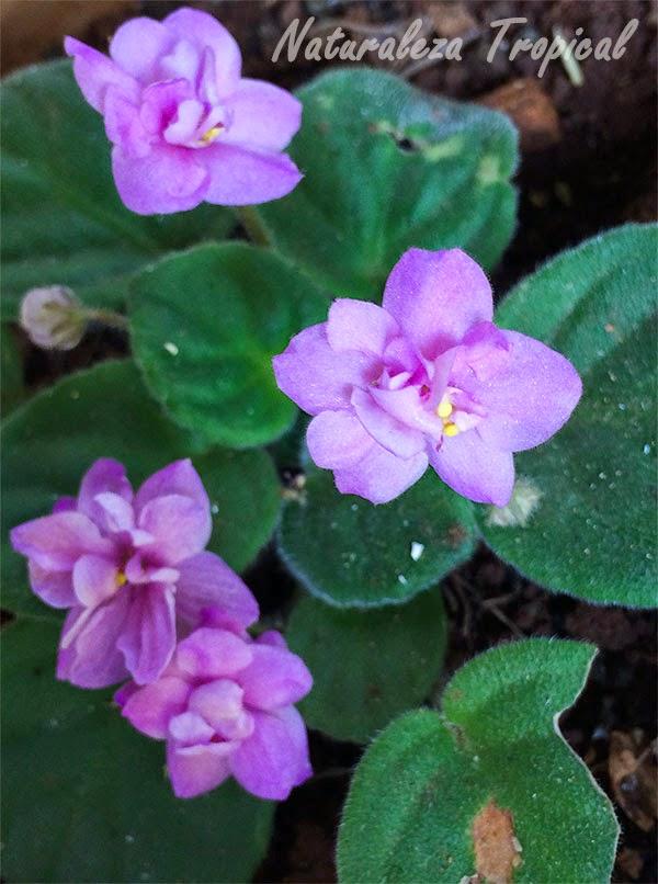 Variedad rosa de la flor violeta africana, género Saintpaulia